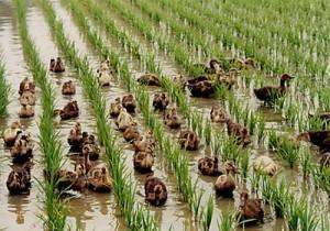 Canard Aigamo dans une rizière