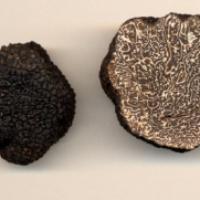 La truffe serait en fait de la merde fossilisée