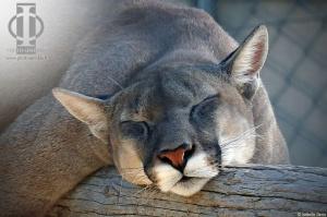 puma-cougar sieste