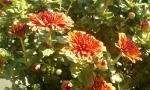 Chrysanthèmes de ma terrasse